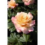 """ვარდი """" AQUARELL ® """" ( ROSE AQUARELL ® ) ზრდასრული მცენარე კონტეინერით"""