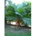 """პალმა """"ვესტიანია"""" (Palma Areca vestiaria) თესლი 5 ცალი."""