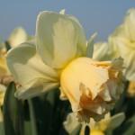 """ნარგიზი """"Art Design"""" (Narcissus Art Design) ბოლქვი 3 ცალი"""