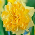 """ნარგიზი """"Sweet Pomponette"""" (Narcissus  Sweet Pomponette) ბოლქვი 5 ცალი"""