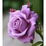 """ვარდი """"BLUE MOON ®"""" ( ROSE BLUE MOON ®) ზრდასრული მცენარე კონტეინერით"""