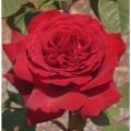 """ვარდი """"Botero"""" (ROSE Botero) ზრდასრული მცენარე კონტეინერით"""