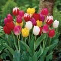 ტიტები ტრიუმფის კლასის, ნაკრები (Tulipa) ბოლქვი 10 ცალი