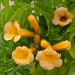"""კამპსისი """"Flava"""" (Campsis radicans Flava) ნერგი  კონტეინერით"""