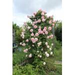 """ვარდი """"Eden Rose"""" ( ROSE Large-Flowered Climber """"Eden Rose"""") ზრდასრული მცენარე კონტეინერით"""