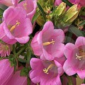 მაჩიტა (Campanula Medium Rose-pink) თესლი 50 მარცვალი