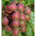 """კივი """"Ananasnaya""""  (Actinidia arguta Ananasnaya) ნერგი 2ლტ. კონტეინერით"""