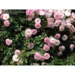 """ვარდი """"cala charles Aznaur"""" ( FLORIBUNDA ROSE cala charles Aznaur)  ზრდასრული მცენარე კონტეინერით"""