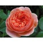 """ვარდი """"CHIPPENDALE ®"""" (SHRUB  Hybrid Tea ROSE CHIPPENDALE ®) ზრდასრული მცენარე კონტეინერით"""