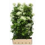 ჰორტენზია მცოცავი (Hydrangea anomala petiolaris )  მცენარე კონტეინერით