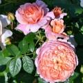 """ვარდი """"COLETTE """" (CLIMBING ROSE """"Colette"""" ) ნამყენი ნერგი შეფუთული ფესვით"""