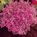 გიპსოფილა (Gypsophila Elegans Crimson) თესლი
