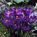 """კროკუსი """"Flower Record"""" (CROCUS  Flower Record) ბოლქვი 3 ცალი"""