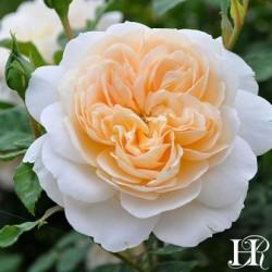 """ვარდი """" 'crocus rose' """" ( ENGLISH ROSE 'crocus rose' ) ზრდასრული მცენარე კონტეინერით"""