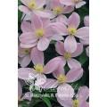 """კლემატისი """"montana rubens """" ( CLEMATIS montana  rubens) ნერგი 2 ლიტრიანი კონტეინერით"""