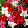 იპომეა, კვამოკლიტი, ფერთა ნაკრები (Ipomoea quamoclit, mix) თესლი 10 ცალი