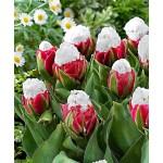 """ტიტა  """"Double Polar"""" (Tulips Double Polar) ბოლქვი 5 ცალი"""
