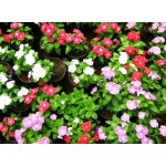 "ვინკა ""Dwarf Little"" (Vinca Rosea Dwarf Little Mix) თესლი"