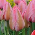 """ტიტა  """"Design Impression"""" (Tulips Design Impression) ბოლქვი 10 ცალი"""