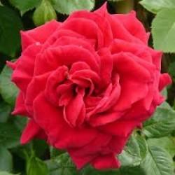 """ვარდი """"GRIMPANT CASANDRE ®"""" (CLIMBING ROSE GRIMPANT CASANDRE ®) ზრდასრული მცენარე კონტეინერით"""
