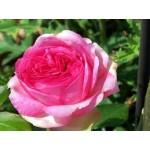 """ვარდი """"WALZERTRAUM ®"""" (HYBRID TEA   ROSE WALZERTRAUM ® ) ზრდასრული მცენარე კონტეინერით"""