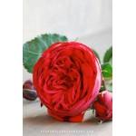 """ვარდი """"PIANO"""" (Hybrid Tea roze  """"PIANO"""") ზრდასრული მცენარე კონტეინერით"""