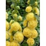 """ბაღის ტუხტი """"double yellow"""" (Alcea rosea double yellow ) ფესვურა"""