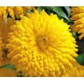 """კალენდულა """"Golden Emperor"""" (Calendula Officinalis Golden Emperor) თესლი"""