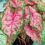 """კალადიუმი """"Carolyn Whorton"""" (CALADIUM Carolyn Whorton) მცენარე კონტეინერში"""
