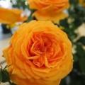 """ვარდი """"GOLDELSE ®"""" ( floribunda ROSE GOLDELSE ®) ნამყენი ნერგი"""