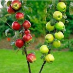 ვაშლი  სვეტისებური ფორმის (Columars Apple - Double Red + Green) ნერგი კონტეინერით