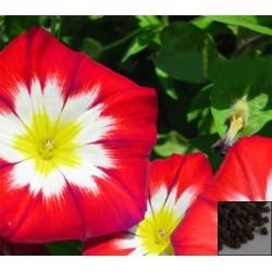 """იპომეა , ჯუჯა ფორმის """"Red Ensign"""" (Convolvulus Tricolor Minor Red Ensign) თესლი 10 ცალი"""