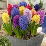 """სუმბული """" Mixed"""" (Hyacinth Mixed) ბოლქვი 15 ცალი"""