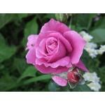 """ვარდი """"BLUE PARFUM ®"""" ( ROSE BLUE PARFUM ®) ზრდასრული მცენარე"""