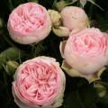 """ვარდი """"CHARMING PIANO ®"""" ( ROSE CHARMING PIANO ®) ზრდასრული მცენარე კონტეინერით"""
