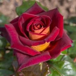 """ვარდი """"Eddy Mitchell"""" ( HYBRID TEA ROSE Eddy Mitchell ) ნერგი შიშველი ფესვით"""