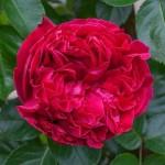 """ვარდი """" Eric Tabarly (Red Eden Rose) """" ( Modern Shrub ROSE Eric Tabarly (Red Eden Rose) ) ნამყენი ნერგი"""