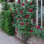 """ვარდი """"Falstaff"""" (SHRUB ROSE Falstaff) ზრდასრული მცენარე კონტეინერით"""