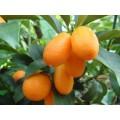 კინკანი (citrus fortunella margarita). ზრდასრული მცენარე კონტეინერით.