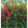ბაღის ფუქსია (Fuchsia Riccartonii ) ნერგი 2 ლტ. კონტეინერით