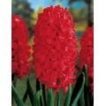 """სუმბული """"Jan Bos"""" (Hyacinthus orientalis """"Jan Bos"""")  ბოლქვი 1 ცალი"""