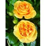 """ვარდი """"CANDLELIGHT ®"""" ( Hybrid Tea ROSE CANDLELIGHT ®) ზრდასრული მცენარე კონტეინერით"""
