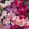 """კოდეტია """"Monarch Dwarf Single"""" (Godetia Grandiflora Azaelaflora Monarch Dwarf Single) თესლი"""