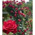 """ვარდი """"GR.CRIMPSON GLORY ®"""" (CLIMBING ROSE """"GR.CRIMPSON GLORY ®"""") ზრდასრული მცენარე"""