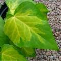 """სურო მარადმწვანე """"colchica Sulphur Heart"""" (Hedera colchica Sulphur Heart) ნერგი 2 ლტ. კონტეინერით"""