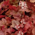 """გეიჰერელა """"Redstone Falls"""" (Heucherella Redstone Falls) კონტეინერით."""