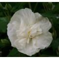 """ჰიბისკუსი სირიული """"Double white"""" (Hibiscus syriacus Double white) ზრდასრული მცენარე კონტეინერით"""