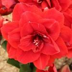 """ამარილისი """"double Red Nymph""""  (Amarilis double Red Nymph) ბოლქვი"""