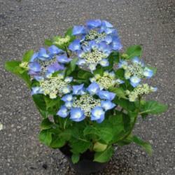 """ჰორტენზია """"'TELLER BLUE'"""" (HYDRANGEA MACROPHYLLA 'TELLER BLUE') ზრდასრული მცენარე კონტეინერით"""