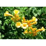 """კამპსისი """"Flava"""" (Campsis radicans Flava) ნერგი C2 კონტეინერით"""